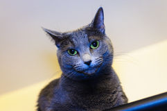 Russian Blue breed cat Royalty Free Stock Image