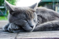 Russian Blue breed kitten Stock Photos