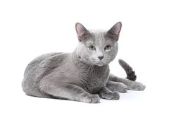 Russian blue cat stock images