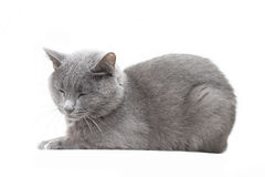 Russian blue cat Royalty Free Stock Images