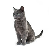 Russian blue cat. Three month old russian blue cat Royalty Free Stock Image