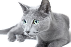 Russian blue cat. Hunting on a white background stock image