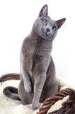 Russian Blue Cat. Portrait of a Russian Ble Cat on Lambskin in Wicker Basket Royalty Free Stock Photos