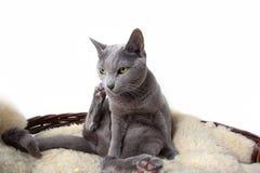 Russian Blue Cat. Portrait of a Russian Ble Cat on Lambskin in Wicker Basket Royalty Free Stock Images