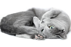 Russian blue cat Stock Image