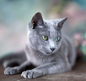 Russian Blue Cat Stock Photos