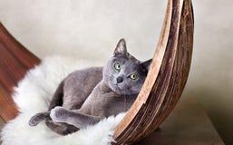 Russian Blue Cat. Cat relaxing on Lambskin in Palm Leaf Stock Photo