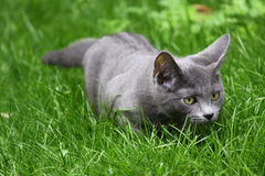Russian Blue cat. On the grass Royalty Free Stock Images