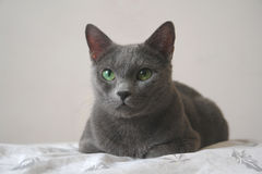 Russian blue cat. Lying on the bed Royalty Free Stock Image