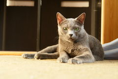 Russian blue cat. Lying on the floor Royalty Free Stock Photos