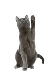 Russian blue cat. Over white background Royalty Free Stock Images