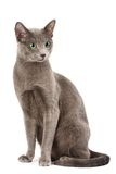 Russian blue cat Royalty Free Stock Photos