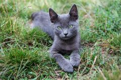 Free Russian Blue Cat. A Small Gray Green-eyed Pedigree Kitten Stock Images - 196246824