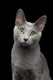 Russian blue cat with amazing green eyes on isolated black background Stock Images