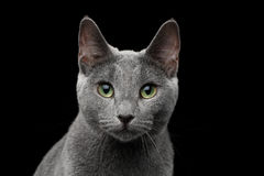 Russian blue cat with amazing green eyes on isolated black background. Close-up portrait of Russian blue cat with amazing green eyes and gray silver fur looking Stock Photo