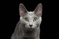 Russian blue cat with amazing green eyes on isolated black background. Close-up portrait of Russian blue cat with amazing green eyes and gray silver fur stare in Stock Image