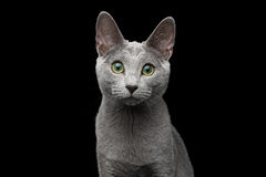 Russian blue cat with amazing green eyes on isolated black background. Close-up portrait of Russian blue cat with amazing green eyes and gray silver fur stare in Royalty Free Stock Photography