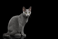 Russian blue cat with amazing green eyes on isolated black background Royalty Free Stock Photo
