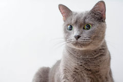 Russian Blue Cat beautiful portrait emotion happiness fluffy Stock Images