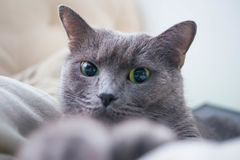 Russian Blue Cat beautiful portrait emotion happiness fluffy Royalty Free Stock Images