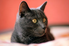Russian blue cat on the bed royalty free stock image