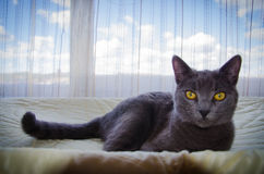 The russian blue cat and blue sky. The russian blue cat lying on the bed with blue sky background royalty free stock photos