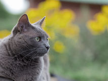 Russian blue cat. On blurred green background stock photography