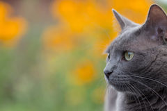Russian blue cat. On blurred orange-green background stock photos