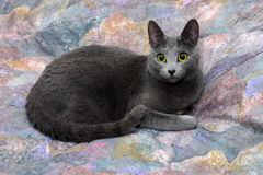 Russian Blue. Royalty Free Stock Images
