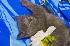 Russian blue cat. Breed Russian blue..kitty and peony flower Stock Photo