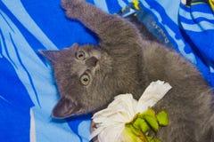 Russian blue cat. Stock Photo