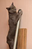 Russian blue cat climbing Stock Photos