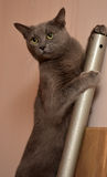 Russian blue cat climbing Royalty Free Stock Image