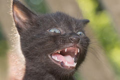 Russian Blue cat Stock Photo