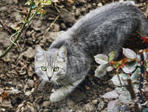Russian Blue Cat Royalty Free Stock Photography
