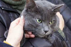 Russian blue cat on hands Royalty Free Stock Image