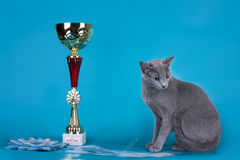 Russian blue cat and her cup champion Stock Image