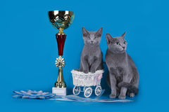 Russian blue cat and her cup champion Stock Images