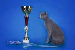 Russian blue cat and her cup champion Stock Photography