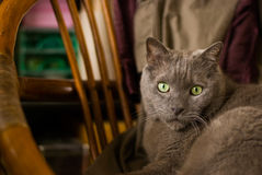 Russian blue cat in home Stock Image