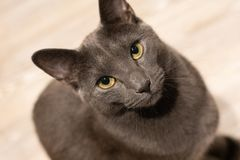 Russian blue cat intensly gazing royalty free stock images