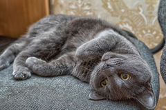 Russian blue cat lie on the back Royalty Free Stock Image