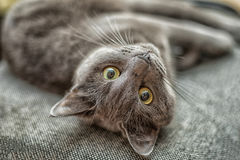 Russian blue cat lie on the back Stock Photos