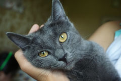 Russian Blue Cat. The cat is looking up to you Stock Photography