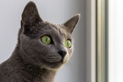 Russian blue cat. Is looking watchfully for something Royalty Free Stock Photography