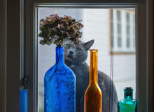 Russian blue cat is looking through the window Royalty Free Stock Photo