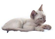 Russian Blue cat lying Stock Photo