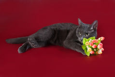 Russian blue cat lying next to bouquet of flowers on burgundy Stock Image