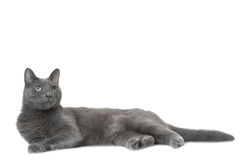 Russian blue cat lying on  white Royalty Free Stock Photo