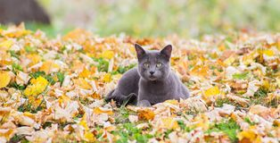 Russian blue cat in nature. Russian blue cat outdoors in autumn nature Stock Photos